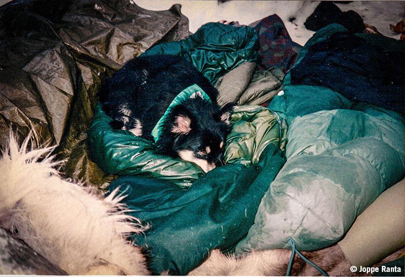Lapinkoira Elli nukkuu Tena 80:sen lämmössä